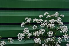 White Anthriscus chervil blooming flower on green corrugated fence background stock photo