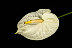 White anthurium on black background. Royalty Free Stock Photos