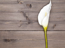 White anthurium flower Stock Photos