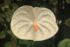 White anthurium. Flower closeup Royalty Free Stock Images
