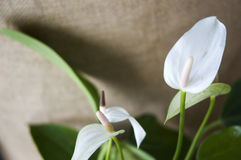 White anthurium flower Royalty Free Stock Photography