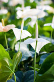 White anthurium. In the garden Royalty Free Stock Photography
