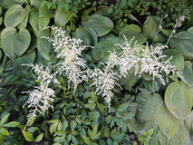 White apical inflorescence Astilbe Stock Photos