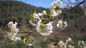 White aplle blossom in Valencia Stock Photo