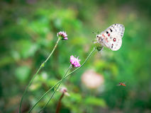 White Apollo butterfly and pink clovers Royalty Free Stock Photography