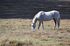White appaloosa horse grazing in open field stock image