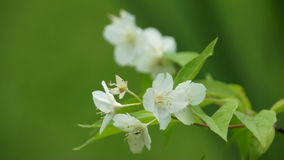 White apple bloom at windy day. White apple bloom at windy summer day stock video