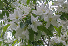 White apple blossom close-up Stock Images