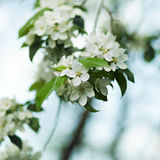 White Apple blossom close-up Royalty Free Stock Photos