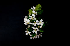 White apple blossom flowers isolated on a black background Stock Photos