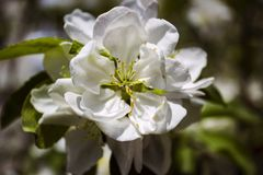 White Apple blossoms on the background of green leaves stock image