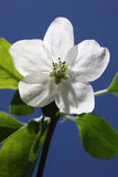 White Apple Blossoms on Blue Sky Stock Photography