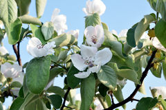 White apple blossoms Royalty Free Stock Photos