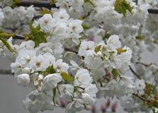 White apple blossoms Stock Image