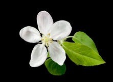 White apple flower. On black background royalty free stock image