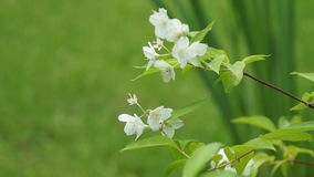 White apple flower bloom closeup. White flower bloom closeup at summer day stock video footage