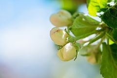 White apple flower buds on the tree. Royalty Free Stock Image