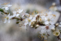 White apple flower. Spring tree Stock Photos