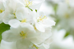 White Apple Flowers. Beautiful flowering apple trees. Background with blooming flowers in spring day. Royalty Free Stock Images