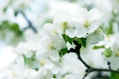 White Apple Flowers. Beautiful flowering apple trees. Background with blooming flowers in spring day. Stock Image