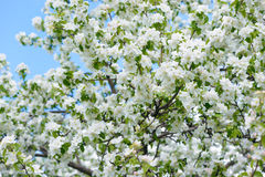 White Apple Flowers. Beautiful flowering apple trees. Background with blooming flowers in spring day. Stock Photo