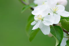 White Apple Flowers. Beautiful flowering apple trees. Background with blooming flowers in spring day. Stock Photography