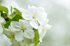 White Apple Flowers. Beautiful flowering apple trees. Background with blooming flowers in spring day. Stock Photos