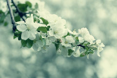White Apple Flowers. Beautiful flowering apple trees. Background with blooming flowers in spring day. Royalty Free Stock Photo