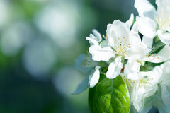 White Apple Flowers. Beautiful flowering apple trees. Background with blooming flowers in spring day. Royalty Free Stock Image