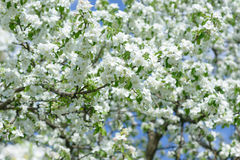 White Apple Flowers. Beautiful flowering apple trees. Background with blooming flowers in spring day. Stock Images