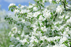 White Apple Flowers. Beautiful flowering apple trees. Background with blooming flowers in spring day. Royalty Free Stock Photos