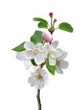 White apple flowers branch Royalty Free Stock Photo