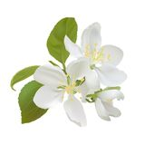 White apple flowers Royalty Free Stock Photos