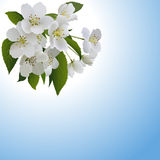 White apple flowers with leaves and bud Stock Photos