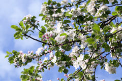 White apple flowers in May Royalty Free Stock Photo