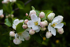 White apple flowers and pink buds on dark background. Stock Image