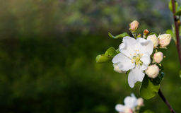 White apple flowers and pink buds. Green blurred background. Royalty Free Stock Photos