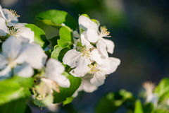 White apple flowers in spring closeup Stock Photography