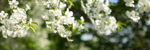 Apple tree branch with white flowers on blurred background royalty free stock image