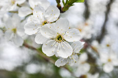 White apple tree blossom. White flowers of an Apple tree in spring morning royalty free stock photo