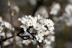 White apple tree blossom. White flowered apple tree blossom in ild Royalty Free Stock Photography