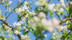 White apple tree blossoms before light blue sky close up Royalty Free Stock Images