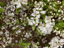 White Apple tree blossoms on wooden background as still life Royalty Free Stock Image