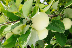 White apple on the tree Royalty Free Stock Photos