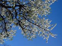 White apple tree Royalty Free Stock Photos