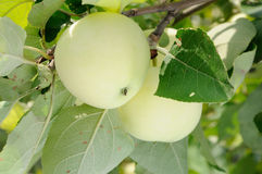 White apple on the tree Stock Photography