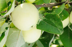 White apple on the tree Royalty Free Stock Images