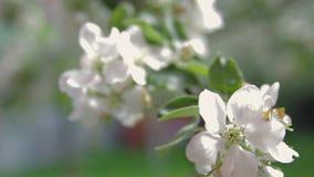 White apple tree close-up. 1 stock footage