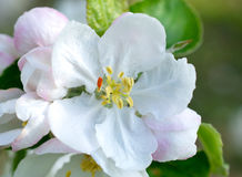 White apple tree closeup with. Green leaves Royalty Free Stock Images