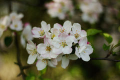White apple tree flower Stock Images